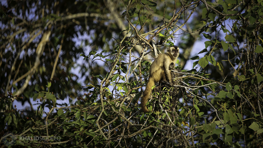 pantanal monkey.jpg