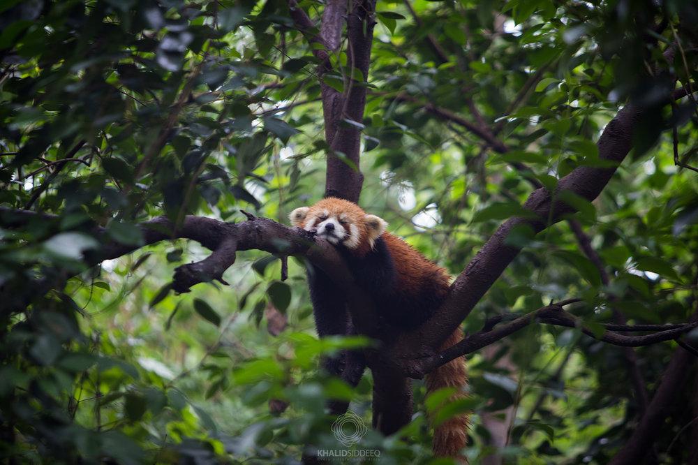 The Red Panda.jpg