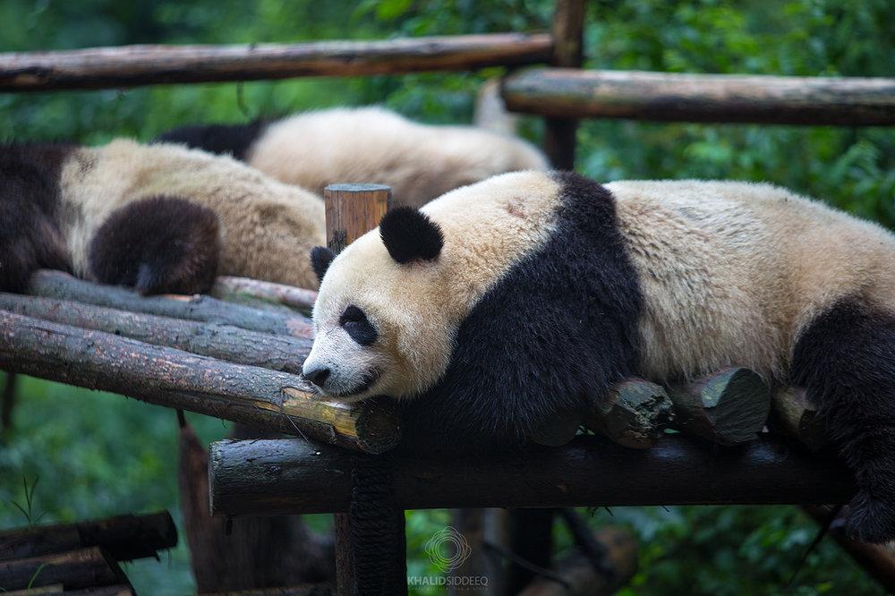 The Panda.jpg