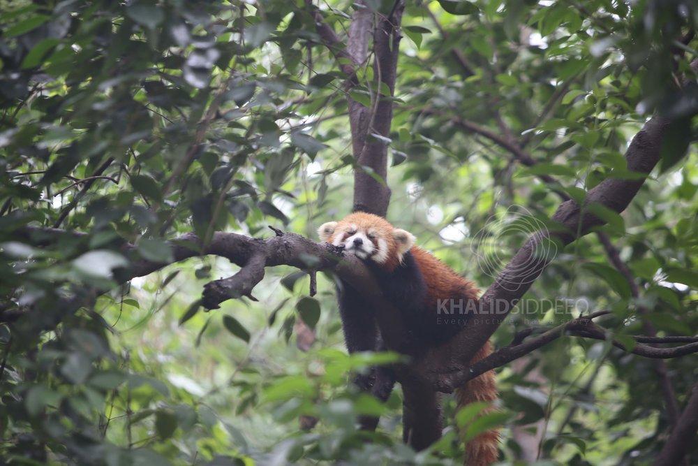 الباندا الكسول، هكذا تمت تسميته، وهو نوع محب للنوم كثيراً