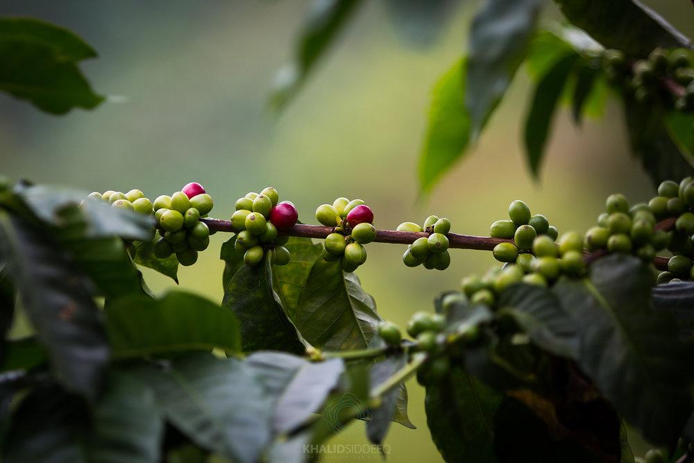 مزارع القهوة، أرمينيا، كولومبيا
