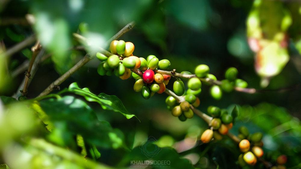 مزارع القهوة في كولومبيا