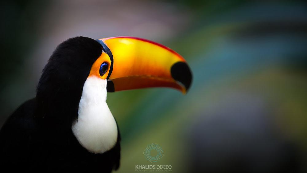 طائر الطوقان، البرازيل