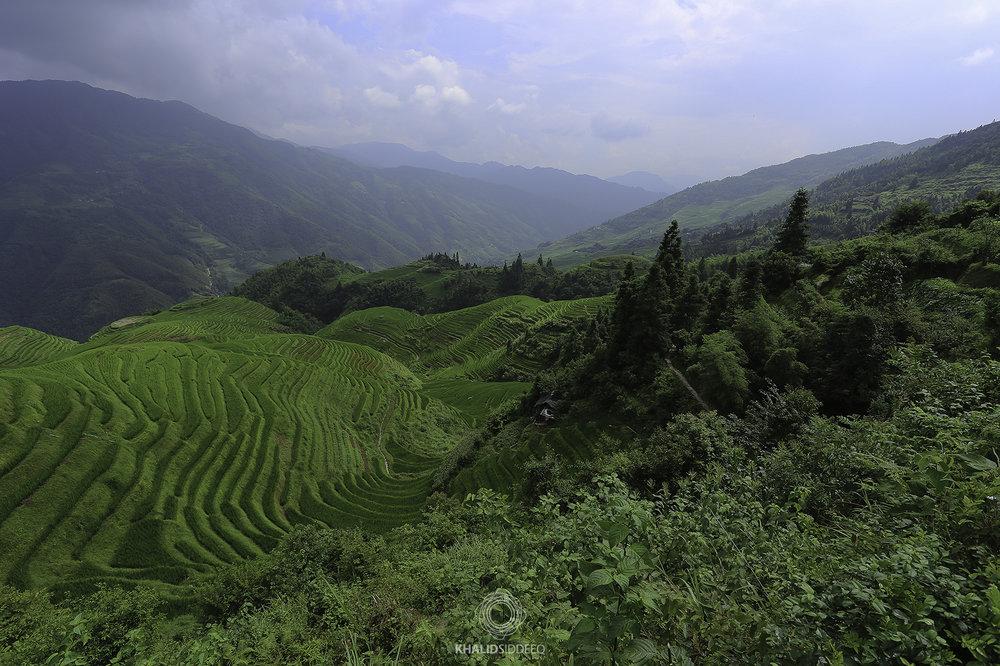مزارع الأرز، الصين
