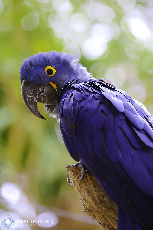 Hyacinth Macaw 4.jpg