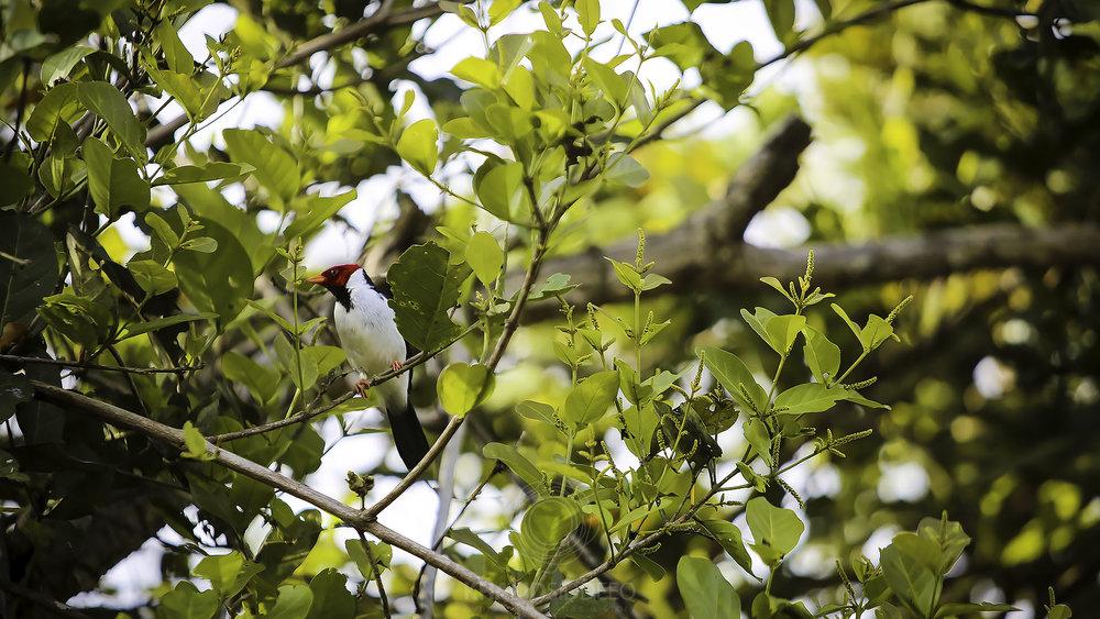 the Cardinal.jpg