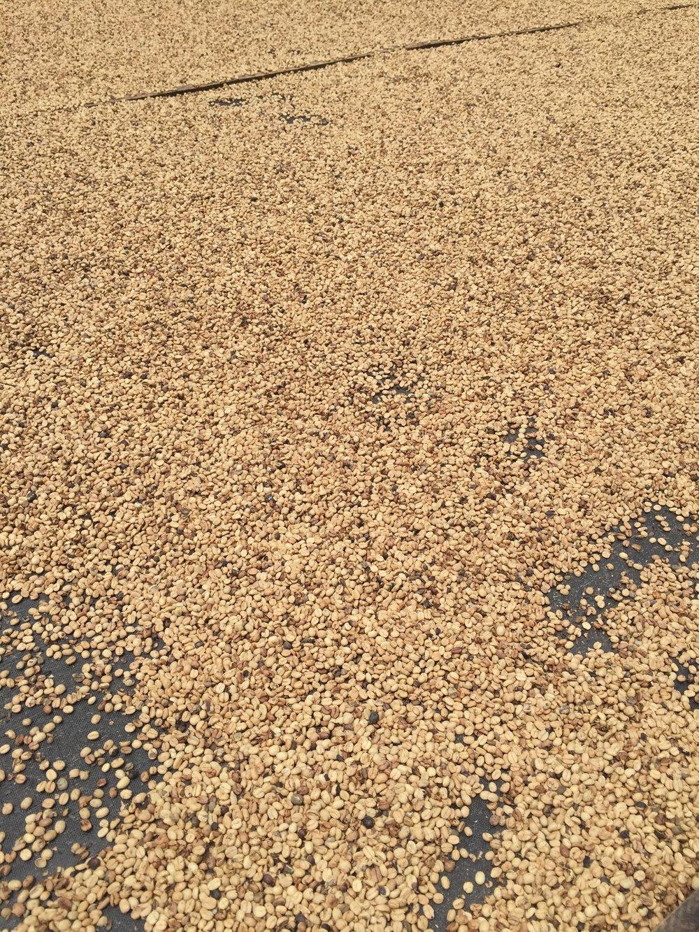حبوب القهوة أثناء التجفيف