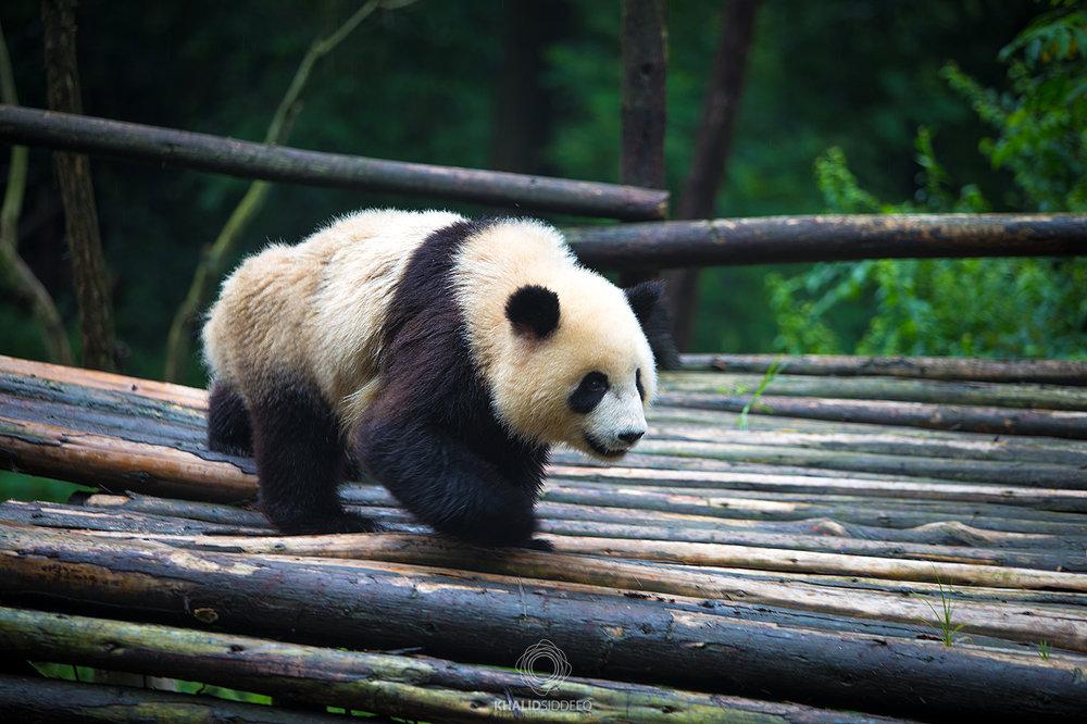 مركز أبحاث الباندا
