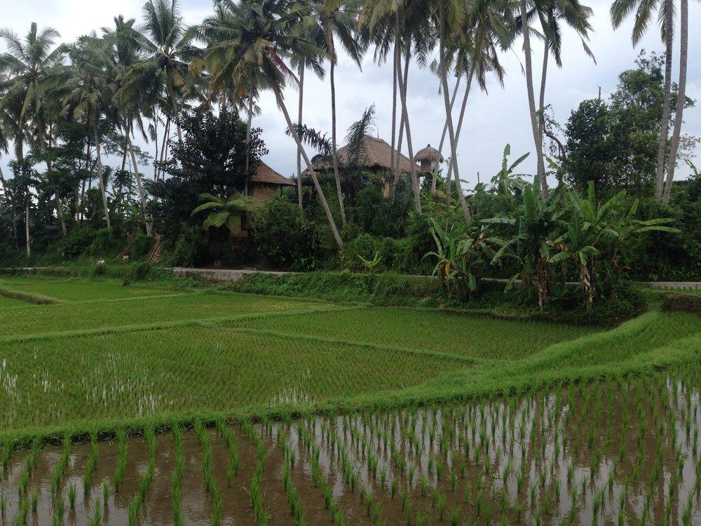 Ubud rice paddies in Bali, Indonesia