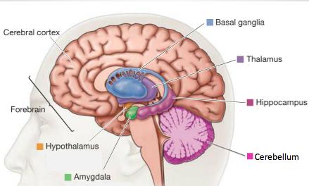 Was immer man über die Funktionalität unseres Gehirns sagt, es ist immer eine Vereinfachung. Es ist hochgradig komplex und immer voller Überraschungen.