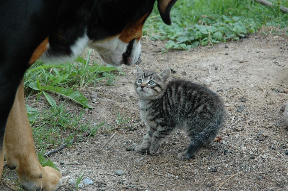 ....    Wie die Katze auf Stress sofort reagiert, tun es unsere inneren Organe auch. Es werden diverse Hormone vermehrt ausgeschüttet, die Blutzirkulation beschleunigt sich, der Zuckerspiegel erhöht sich und rote Blutkörperchen werden vermehrt produziert. Dazu beschleunigt sich die Atmung, Sensibilisierung aller Sinne beginnt und gewisse Körperfunktionen werden unterdrückt (zB Verdauung und Sexualfunktionen).    ..    Cats react immediately to stress, and our inner organs are just as responsive. A variety of hormones are released, circulation quickens as the pulse races, blood sugar levels rise and red blood cell production increases. Breathing is also accelerated and all our senses become more alert, while certain other bodily functions, such as digestion, are suppressed.   ....
