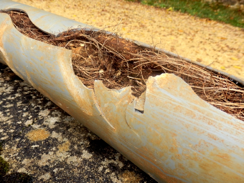 Tree roots in sewer pipes, BL3 Plumbing, types of slow-growing trees, sewer safe plants