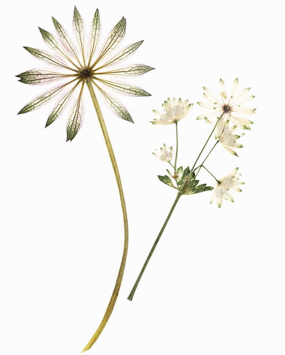 Pressed Flowers Ann Taylor Flower Stylist New York