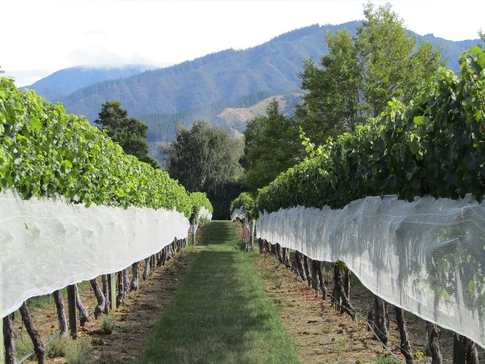 Marlborough is world-renowned for its production of Sauvignon Blanc wine.