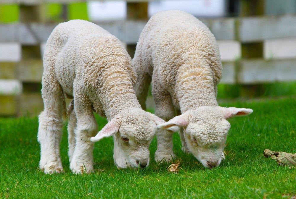 sheep-50914_1280.jpg