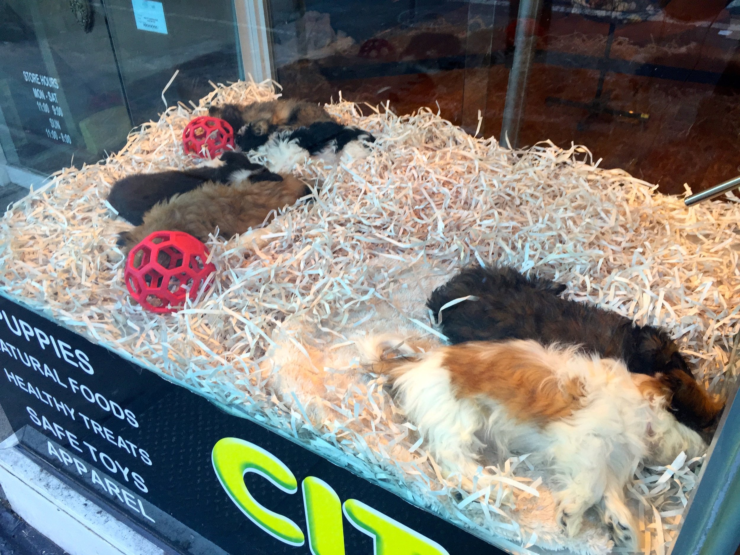 Puppies in the window at CitiPup in Chelsea