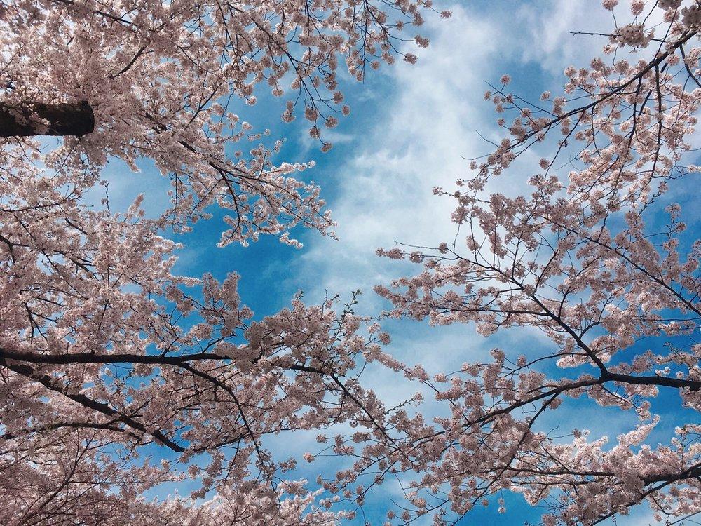 Cherry Blossom Tunnel, Hirosaki, Japan