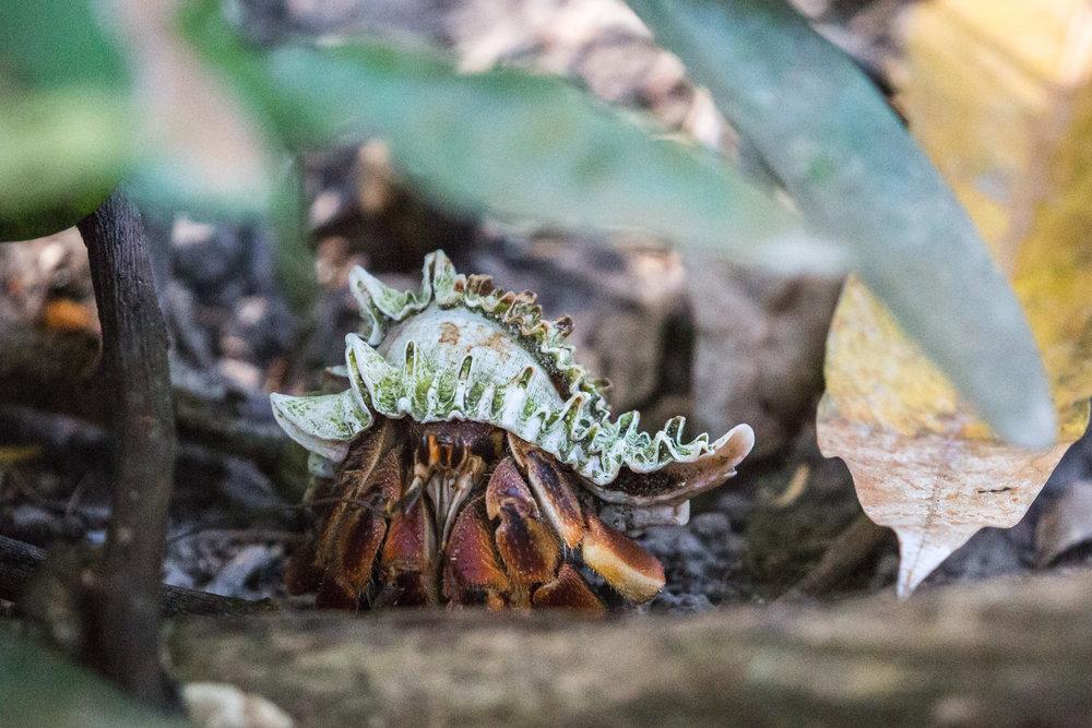 Hermit crab - Isla del Rey