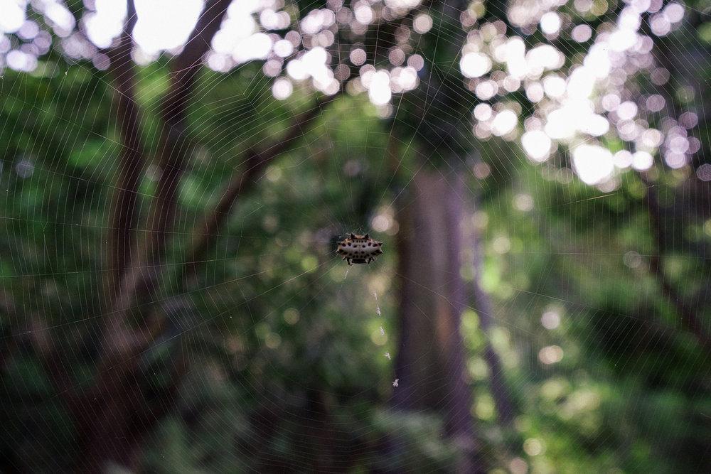 A Micrathena spider