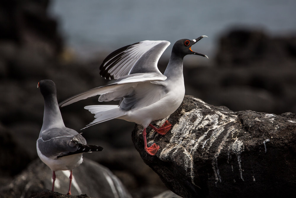 Swallow-tailed gulls (Creagrus furcatus) - These beautiful gulls are the only fully nocturnal seabird in the world, eating mostly squid and small fish that come to the ocean's surface at night to feed on plankton. They are a