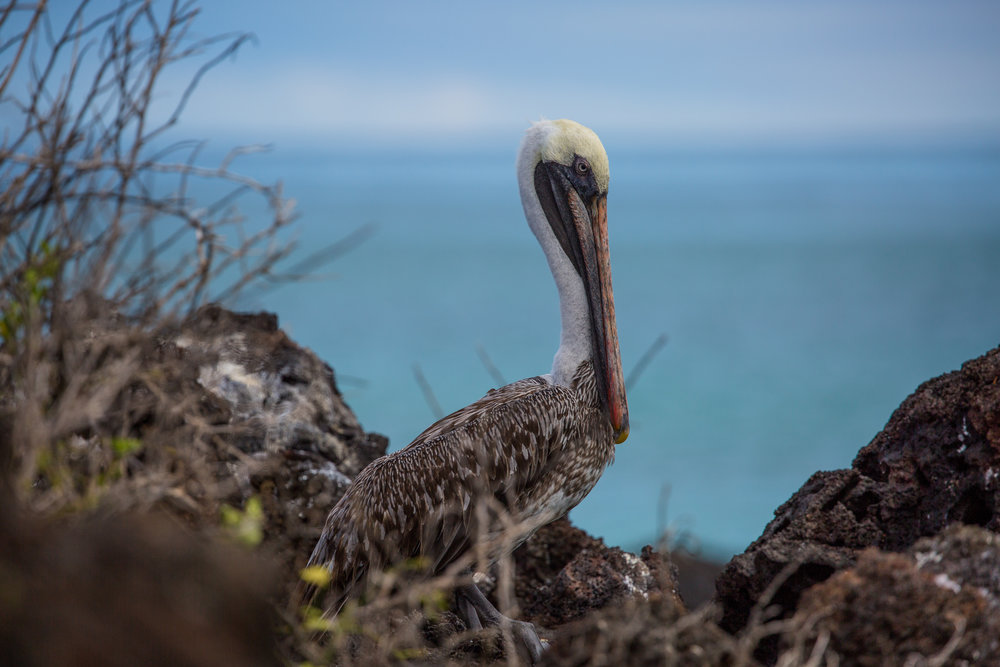 Brown pelican (Pelecanus occidentalis), Santa Cruz Island -