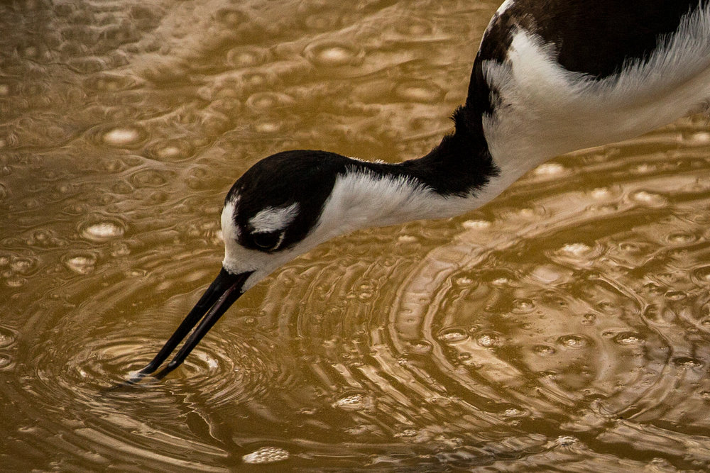Black-necked stilt (Himantopus mexicanus) - They sift through the water to feed on a variety of aquatic invertebrates, depending on availability. Isabela Island, Galápagos, Ecuador