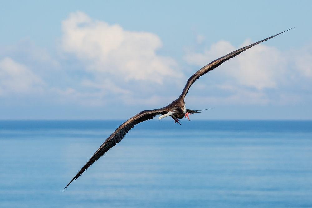 Frigate_Bird_Galapagos.jpg