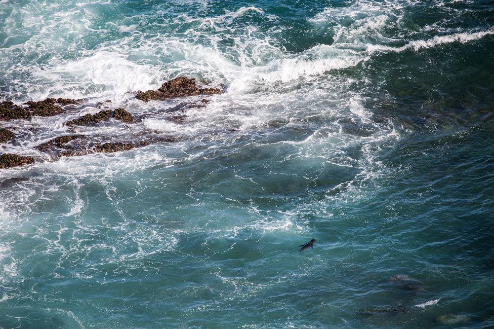 A solitary Galápagos sea lion in the waves below Frigatebird Hill