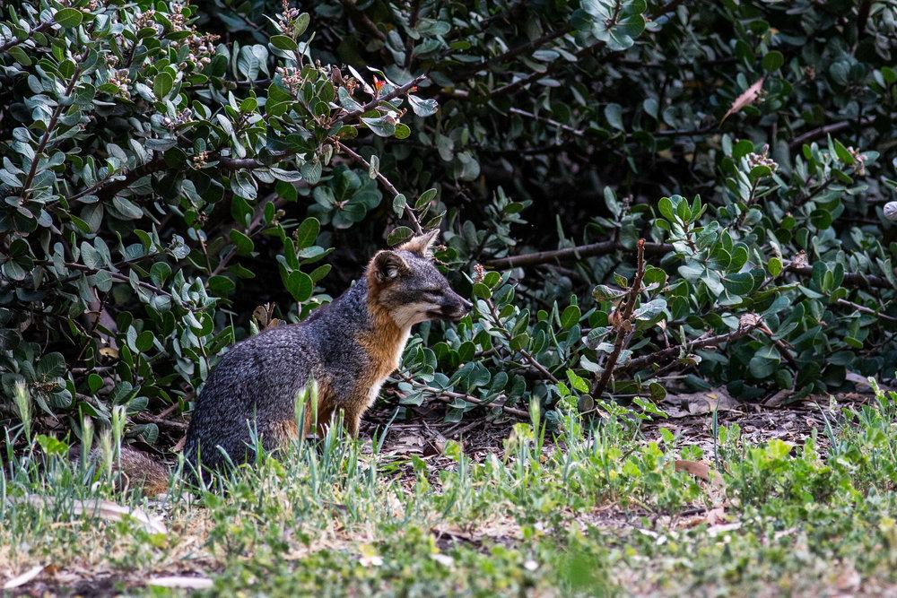 Santa Cruz Island Fox (Urocyon littoralis santacruzae)