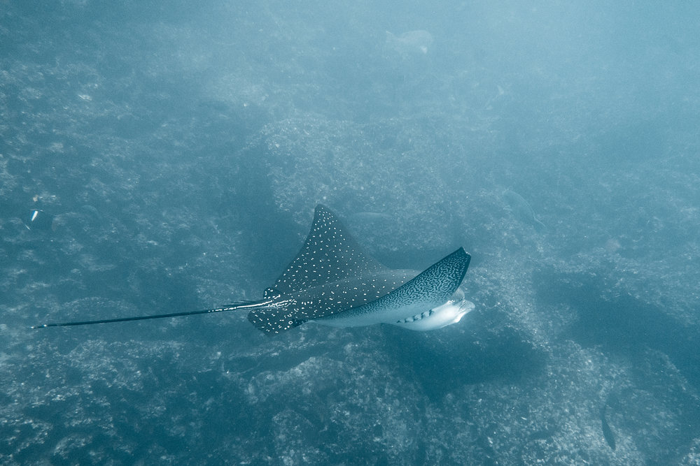 Spotted eagle ray (Aetobatus narinari) - Though not as large as the manta rays, these majestic and beautiful rays can grow up to 10ft in width and several glided past us on many occasions on both dives off Santa Cruz Island. They are generally shy and avoid humans.