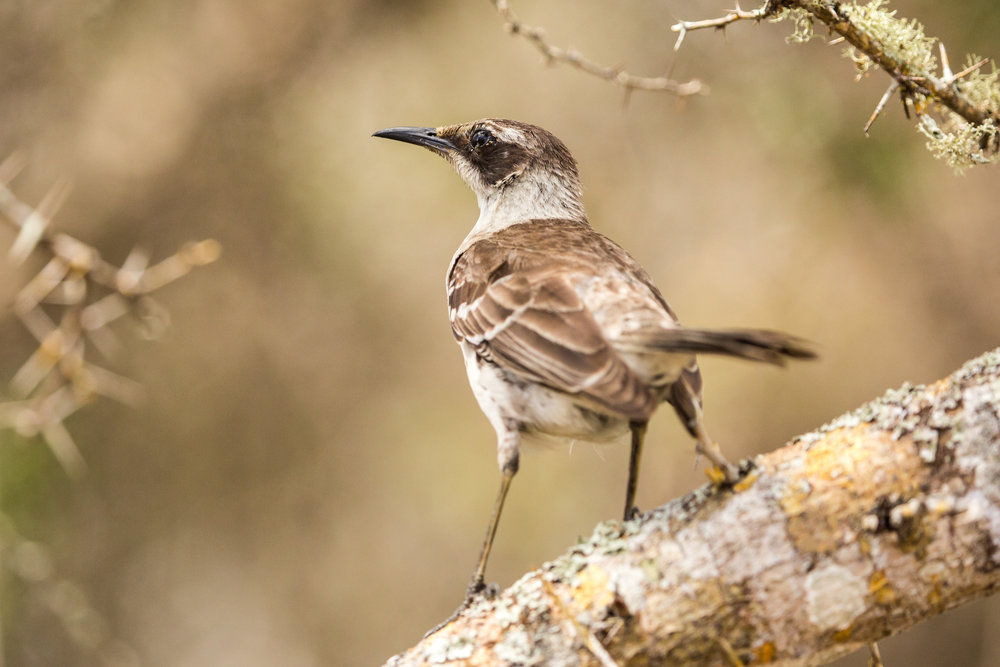 "The ""M.p. parvulus"" subspecies of the endemic Galapagos mockingbird"