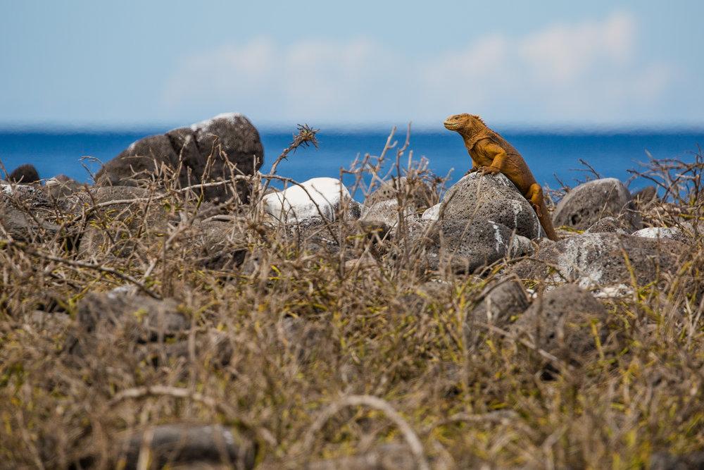 A Galapagos land iguana getting some sun
