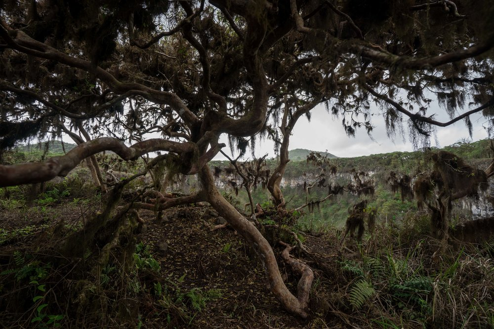 - One of the impressive Guayabillo trees at Los Gemelos