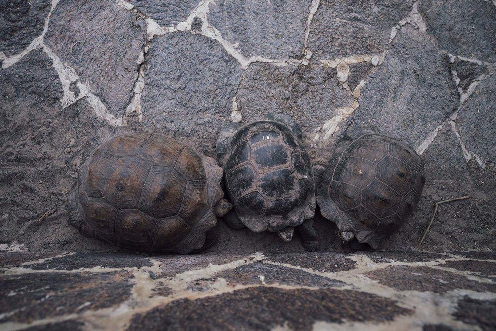 Juvenile Isabela giant tortoises at the breeding center, taking a nap