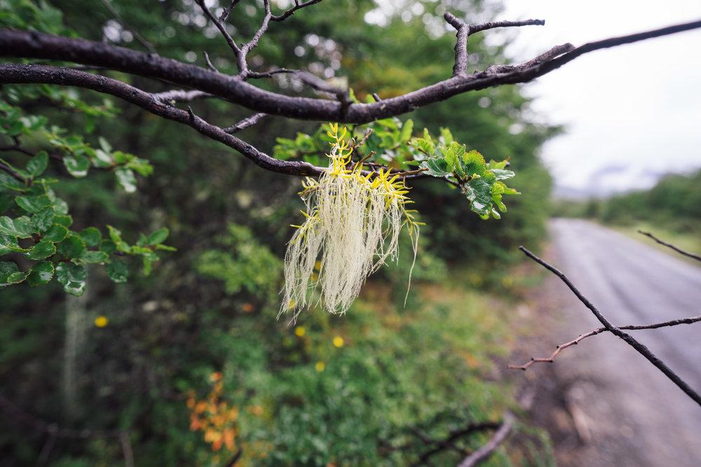 """A small """"Usnea"""" lichen on a tree branch"""