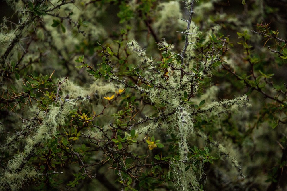 "A ""calafate"" berry bush covered in moss."