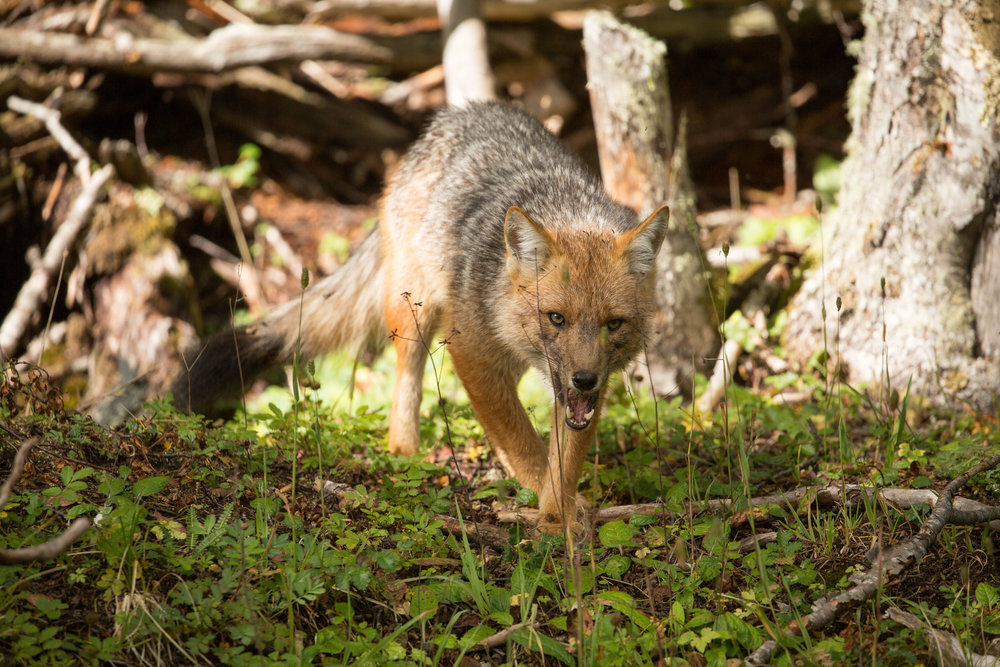 culpeo fox (Lycalopex culpaeus) - A culpeo fox once it finished scavenging for the bones of a dead guanaco. The forests of the Karukinka Natural Park are home to an important population in the area, offering a sanctuary to this second largest native canid species in South America.