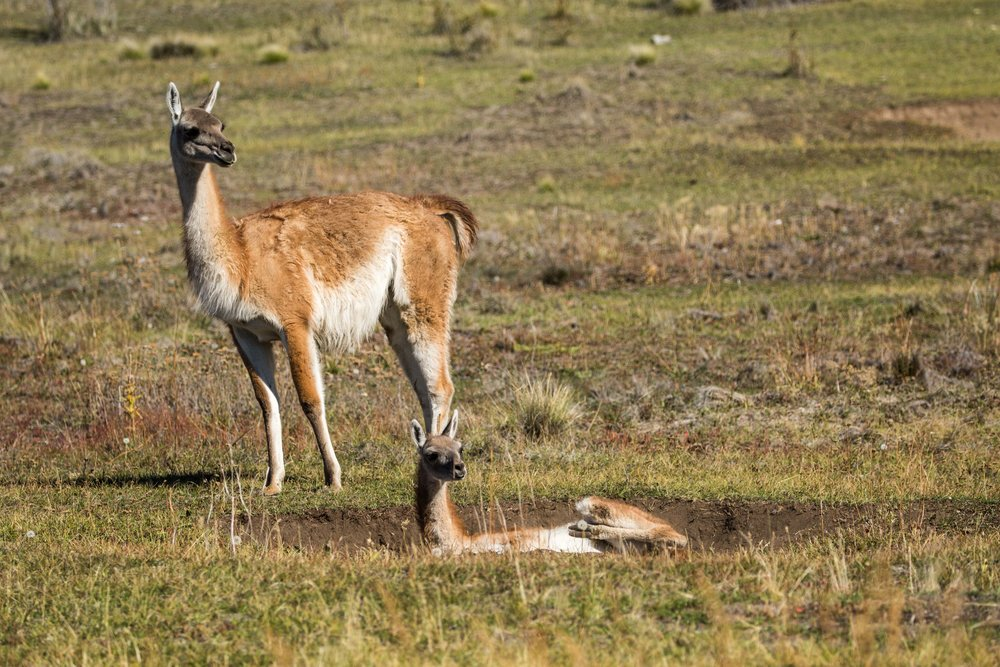 - A young guanaco, known in Spanish as chulengo, dust bathing while an adult stands watch