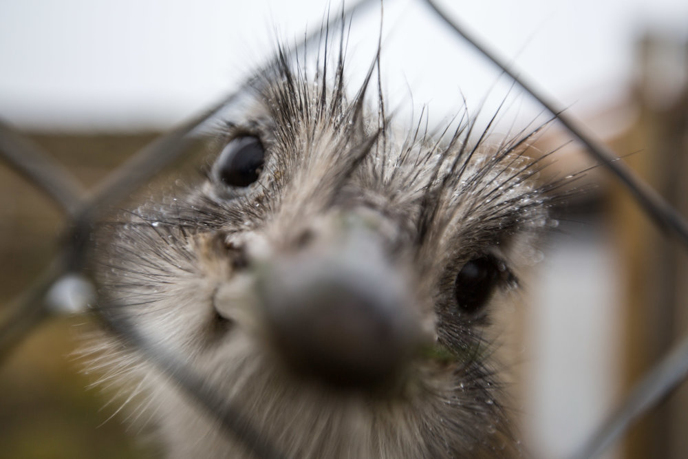 - One of the several ñandús of Conservacion Patagonica's Darwin's Rhea Conservation Program