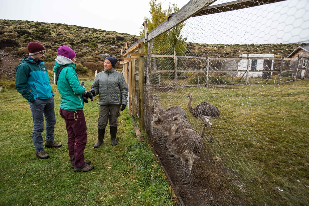 Curious rheas/ñandús listening to what Alejandra is saying about them