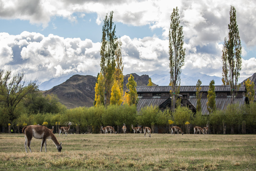 - A large herd of guanacos hanging out in front of the restaurant and the park's main offices. During our first week there we had snow up in the mountains, which to our luck drove all the guanacos down to the valley where we could see them daily eating, sleeping and picking up fights