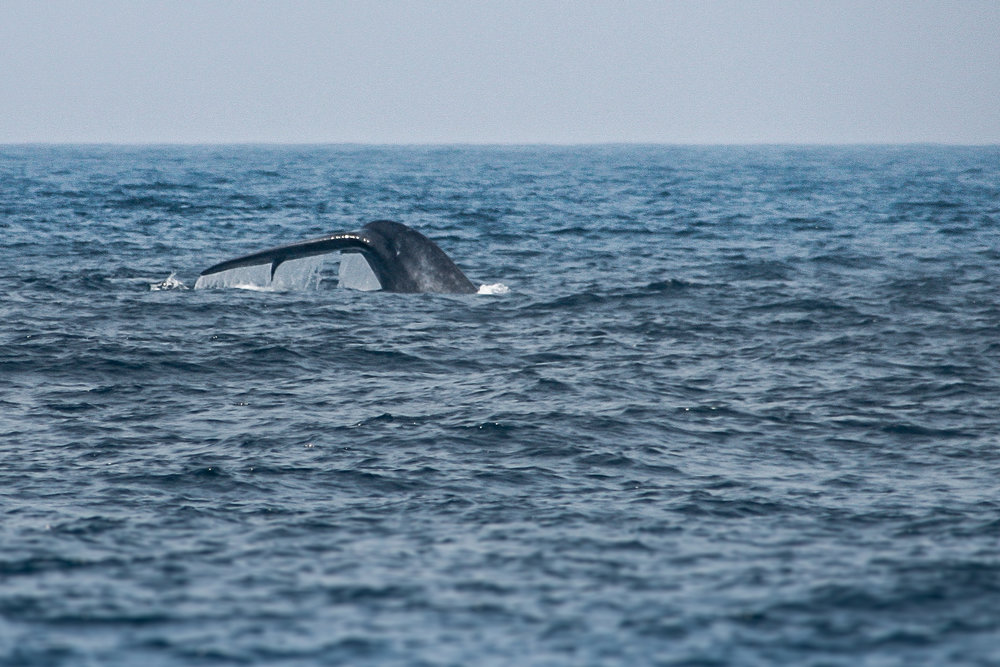 A blue whale going for a dive