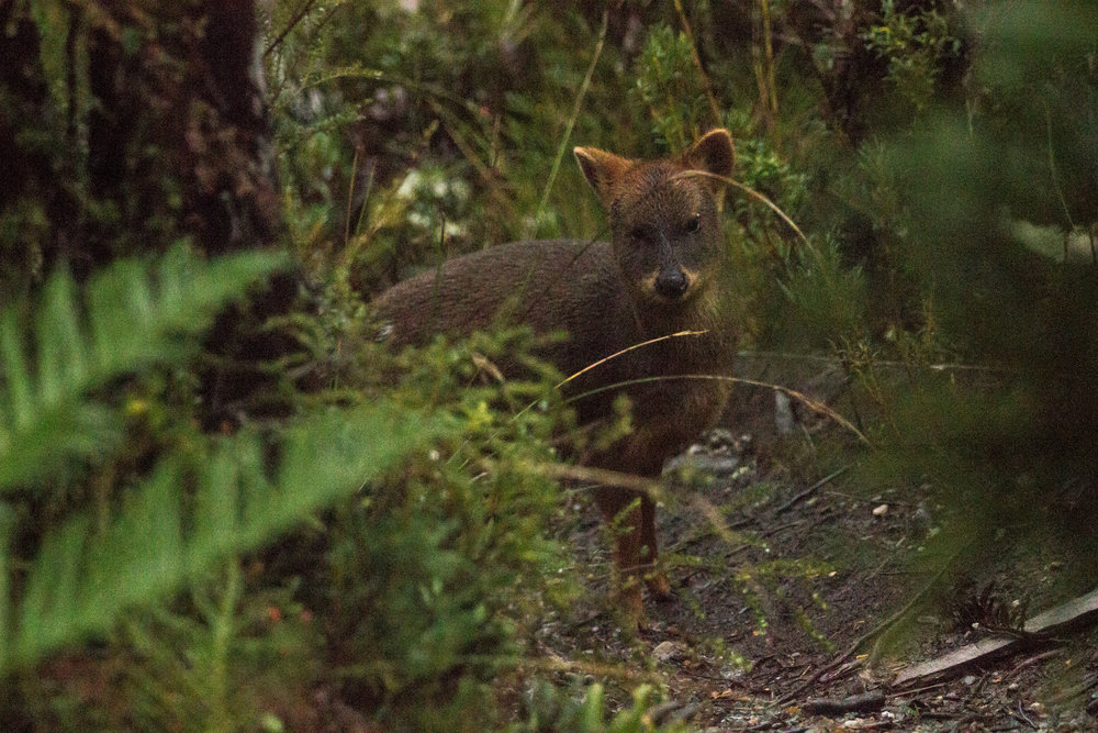 The elusive pudú. (sorry for the image quality - it was taken through a rainy cabin window at dusk)