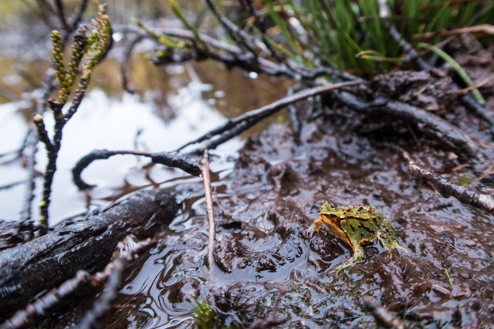 A southern Darwin's frog in the peat bogs of Tantauco