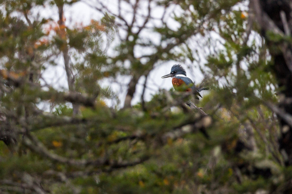 A ringed kingfisher at the Piramide refuge