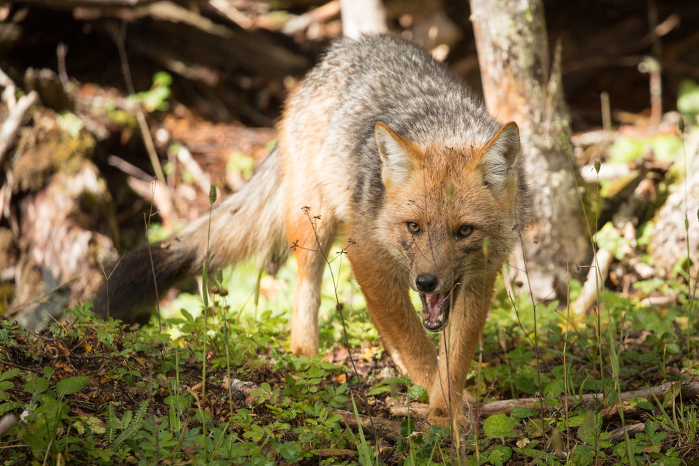 Fuegian fox (Lycalopex culpaeus lycoides) - The Fuegian fox is a subspecies of the zorro colorado, living on the island of Tierra del Fuego. It is the southernmost canid in the world and is the only known fox species witnessed to have hunted young guanacos.