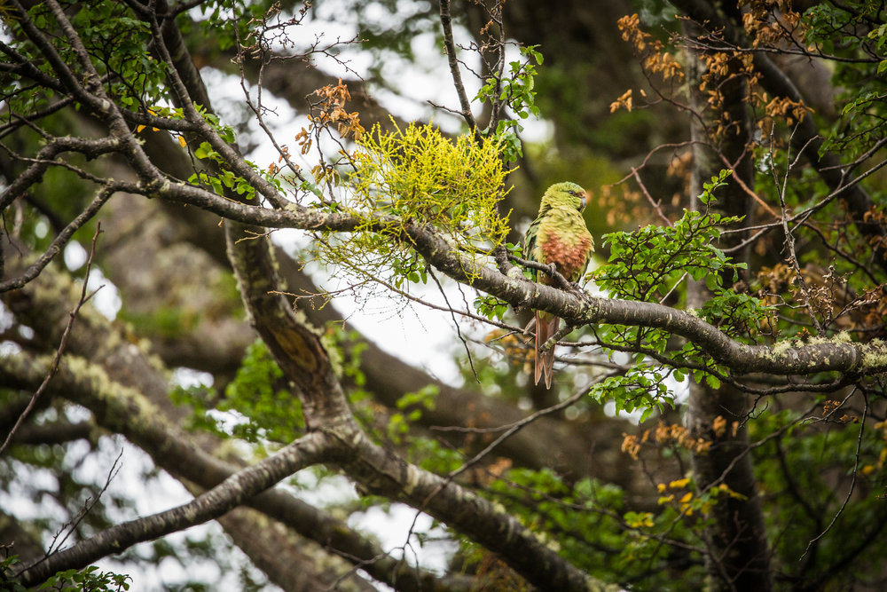 austral parakeet (Enicognathus ferrugineus) - An austral parakeet at WCS's Karukinka Natural Park on Chile's side of Tierra del Fuego. This is the world's southernmost parrot, with a range from Temuco, Chile all the way down to the southern tip of the continent.