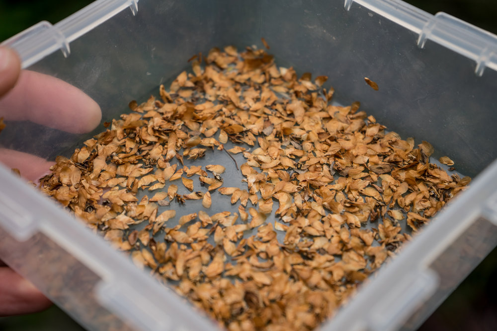 Precious cargo: some of the cypress seeds collected