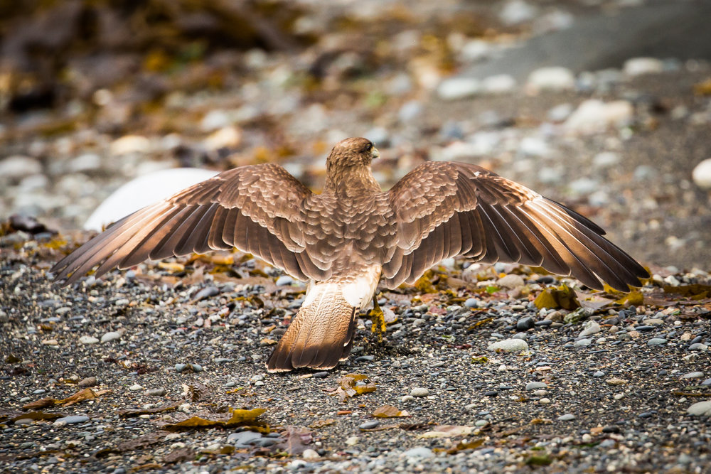 Chimango caracara (Phalcoboenus chimango) - Chimango caracara spreading its wings along the rocky coast of Cabo Froward. These intellegent, opportunistic birds of prey are seen frequently throughout Chilean Patagonia.