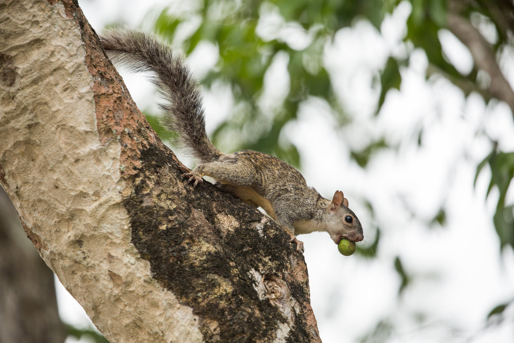 Yucatan squirrel (Sciurus yucatanensis) - A Yucatan squirrel hiding its food. They look similar to grey squirrels, and are native to Belize, Guatemala, and southeast Mexico.